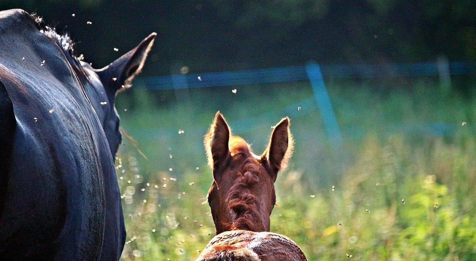 Insektenschutz, Fliegenschutz für Pferde