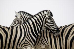 Fliegendecke Zebra Muster